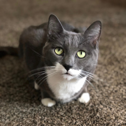 Kitten, the 6 year old Cat! Kitten was saved by FACE Foundation after suffering from a medical emergency. He was at risk of economic euthanasia.