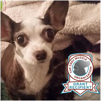 Chucha the Chihuahua!