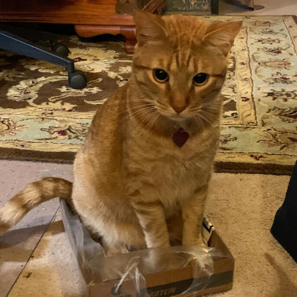 Adorable Cat Simon sits in box after being saved by FACE Foundation.