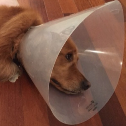 Jackson the dog with a cone of shame, FACE Foundation best animal nonprofit
