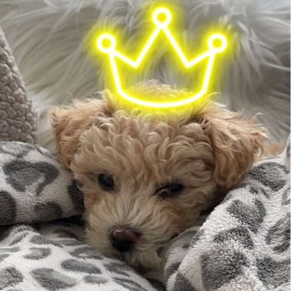 Fluffy, little, blonde dog laying amongst blankets. Has a yellow neon crown from a Snap Chat filter on it's head.